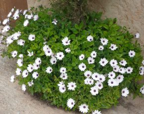 flors blanques Rocallaura - Viles Florides