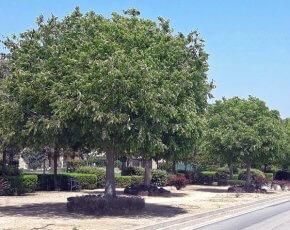 arbres maçanet de la selva
